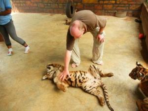 Tiger cub scratches